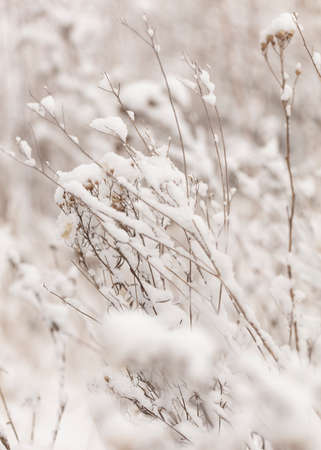Winter nature print with close up of light beige dried grass with snow in the background. Reeds in beige with selective focus and the background is blurred. Reklamní fotografie