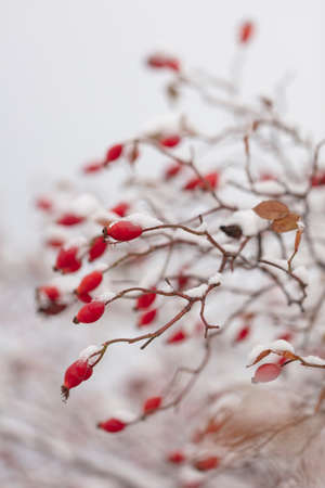 Winter nature print close up with red rose hips with snow. Shrub with selective focus and blurred background.