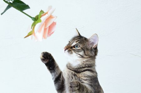 Little gray kitten plays with a rose flower on a white background.