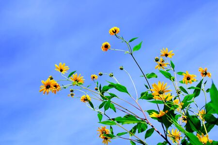 Yellow Arctotis flowers against the blue sky in the afternoon. View from below.