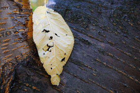 Closeup pine bark and autumn yellow leaf. Autumn outdoors.