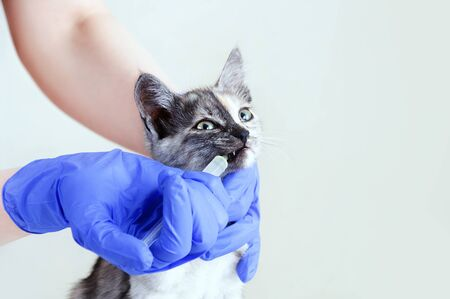 A veterinarian in gloves is drinking medicine from a syringe of a gray kitten. Vet clinic. Close-up. Reklamní fotografie