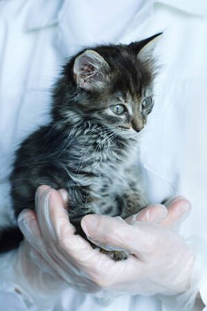 Small gray kitten in the arms of a veterinarian doctor close-up.