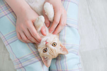 Small beige kitten lying on the lap of a Caucasian woman. View from above. Banque d'images - 158347670