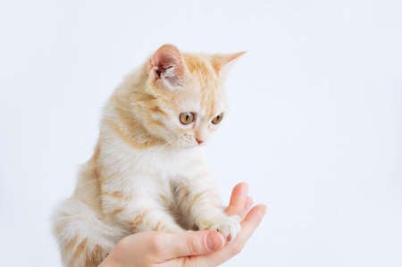 Small beige Scottish kitten in the hands of a Caucasian woman. Banque d'images