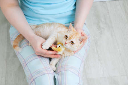 A small beige scottish kitten lies in the lap of a Caucasian woman. Banque d'images