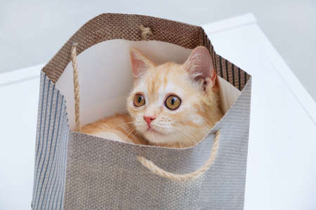A small beige Scottish kitten sits in a brown paper bag. Banque d'images - 158196360
