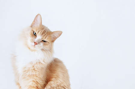 Portrait of a displeased beige cat. White background. Place for your text. Banque d'images - 158196995