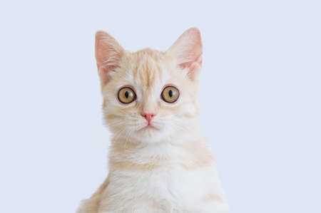 Portrait of a small beige Scottish kitten close-up. White background. Banque d'images - 158347676