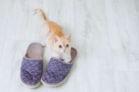 A small beige Scottish kitten is playing on the floor of the room with slippers. Banque d'images