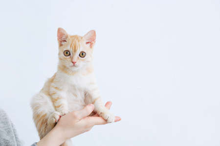 Small beige Scottish kitten sitting in the hands of a Caucasian woman. Banque d'images