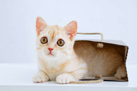 A small beige Scottish kitten close-up lies in a paper bag. White background. Banque d'images