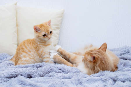 Two beige cats are playing while lying on the bed. Banque d'images - 158930112