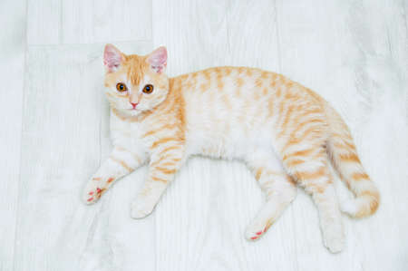 A ginger Scottish kitten lies on the floor in the room. Banque d'images