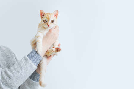 A small beige Scottish kitten sits in the hands of a Caucasian woman. White background. 스톡 콘텐츠
