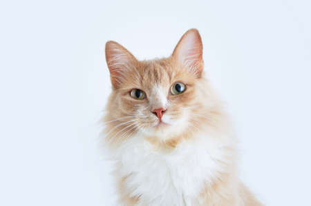 Portrait of a beige cat. Look up. White background. 스톡 콘텐츠