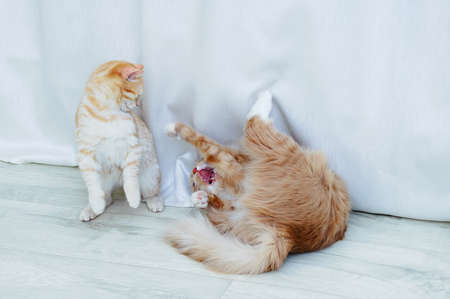 Two beige cats are playing and fighting on the floor in the room.