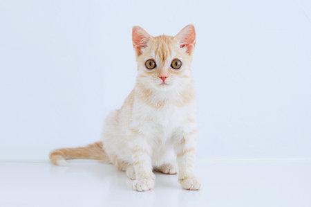 Portrait of a little beige Scottish kitten sitting on the table. White background.