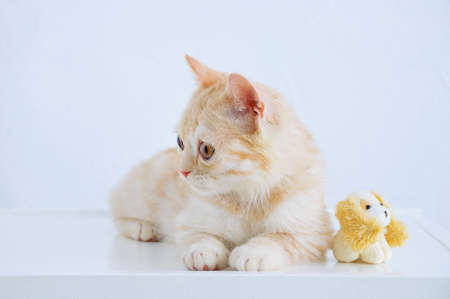 Portrait of a little beige scottish kitten sitting on a table with a small toy dog.