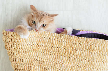 A beige cat was lying on the floor in a close-up of a wicker basket. View from above.