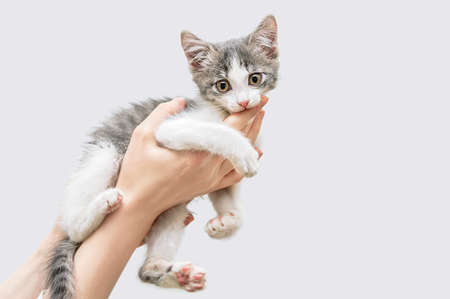 A small gray-white kitten in the hands of a Caucasian woman bites.