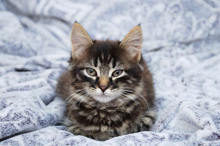 Little gray sad Maine Coon kitten sitting on a gray plaid.
