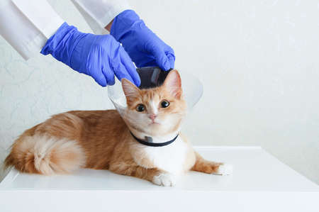Veterinarian examination. Ginger cat in a transparent protective collar for animals on a white table. 스톡 콘텐츠