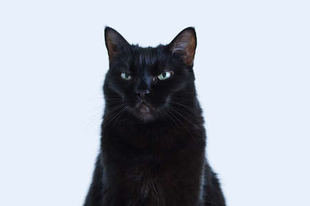 Portrait of a black angry displeased cat on a white background.