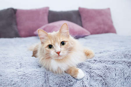 Beige fluffy cat lying on the bed in the interior of the room.