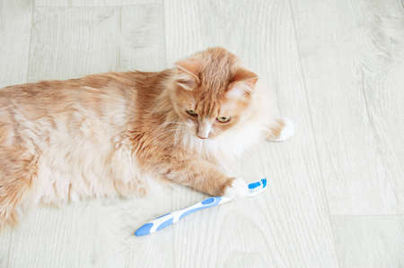 Close-up ginger cat with a toothbrush lying on the floor of the room.