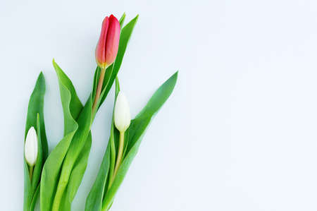 Three tulips on a white background. Place for your text.