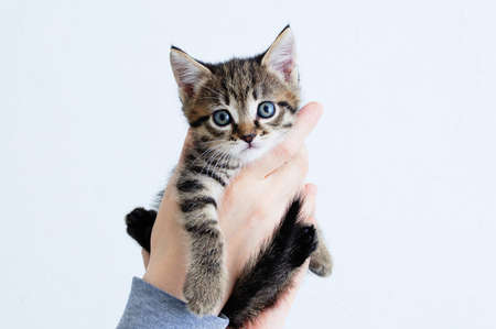 Small gray kitten close-up in the hands of a caucasian woman. White background.