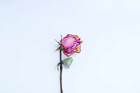 Dried pink rose flower on a white background close-up. Standard-Bild