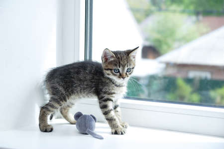 A small gray kitten plays on the windowsill with a soft toy mouse close-up.