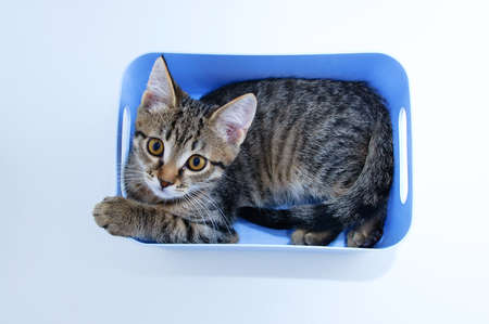 Small gray kitten lying in a blue box on a white background. View from above. Standard-Bild