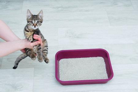 Cat litter training for a little kitten. Kitten in the hands of a Caucasian woman.