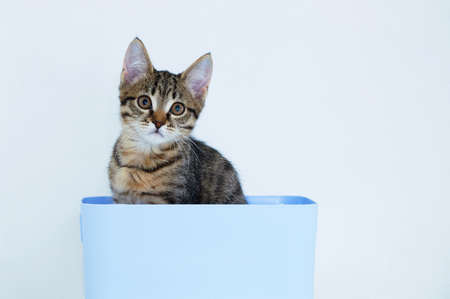A small gray kitten sits in a blue plastic box. White background. Looking into the camera.