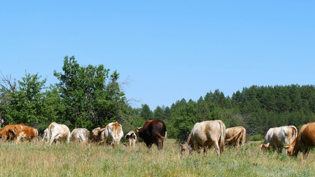 A large herd of cows grazes on the green grass by the forest. Agriculture and livestock.