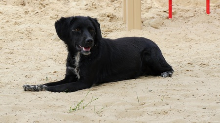 The black old dog sitting on the sand in the hot summer. 스톡 콘텐츠