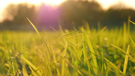 Green grass lawn close-up during sunset. Wheat germ in the field 스톡 콘텐츠