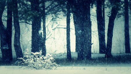 Silhouettes of pine forest trees in winter during a snowfall