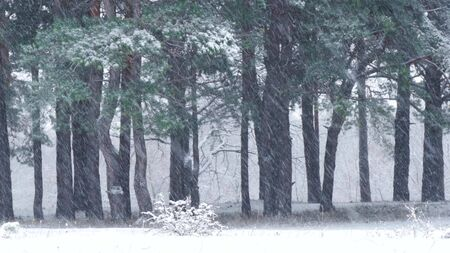 Pine forest in winter during a snowfall 스톡 콘텐츠