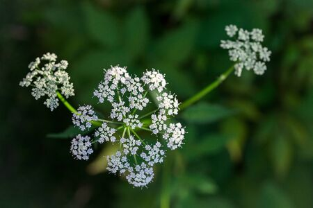 White blooming cow parsley or wild chervil in the garden, horizontal, copy space