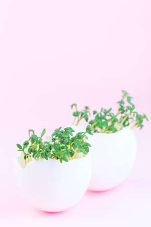 Garden cress growing in eggshells, on a pink background, vertical, copy space