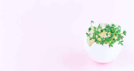 Garden cress growing in eggshell, on a pink background, horizontal, copy space 免版税图像
