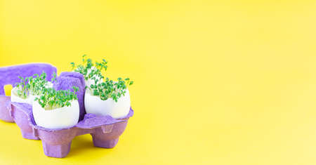 Banner with garden cress growing in eggshells, on yellow background, purple paper egg holder, horizontal, copy space 免版税图像