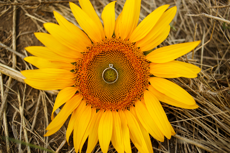 Two wedding rings lie on a large sunflower. Rings are golden.