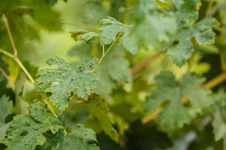 perineum: Leaves of grapes with disease