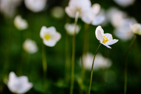 Green glade with white anemone flowers in spring garden