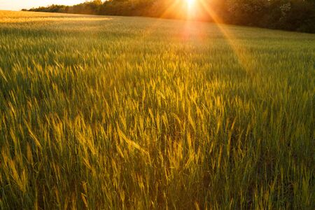Bright sunset over wheat field. Green rising wheat field. Ears of green wheat with blurred background.